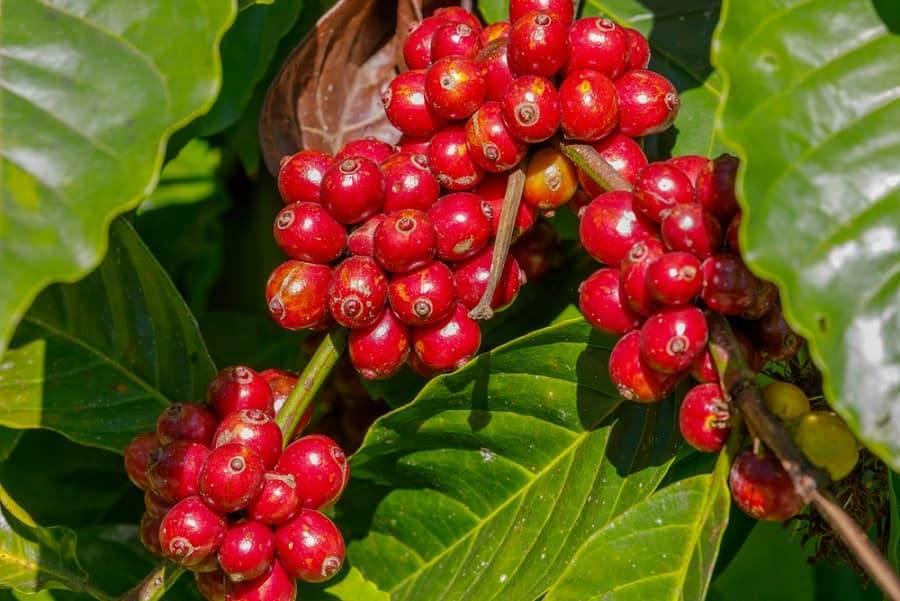 گیاه قهوه روبوستا چری هندوستان