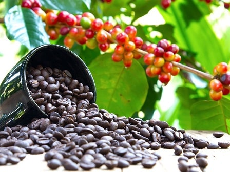 درخت گیاه قهوه