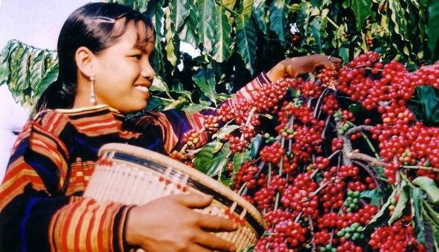 گیاه قهوه روبوستا ویتنام
