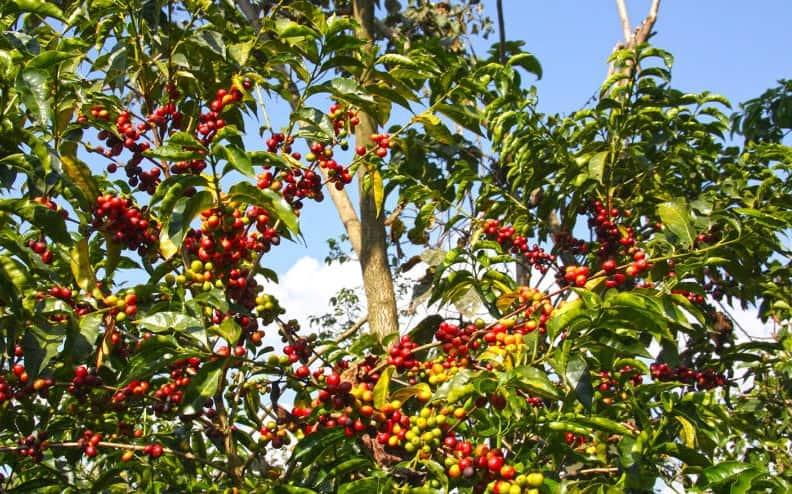 گیاه قهوه عربیکا