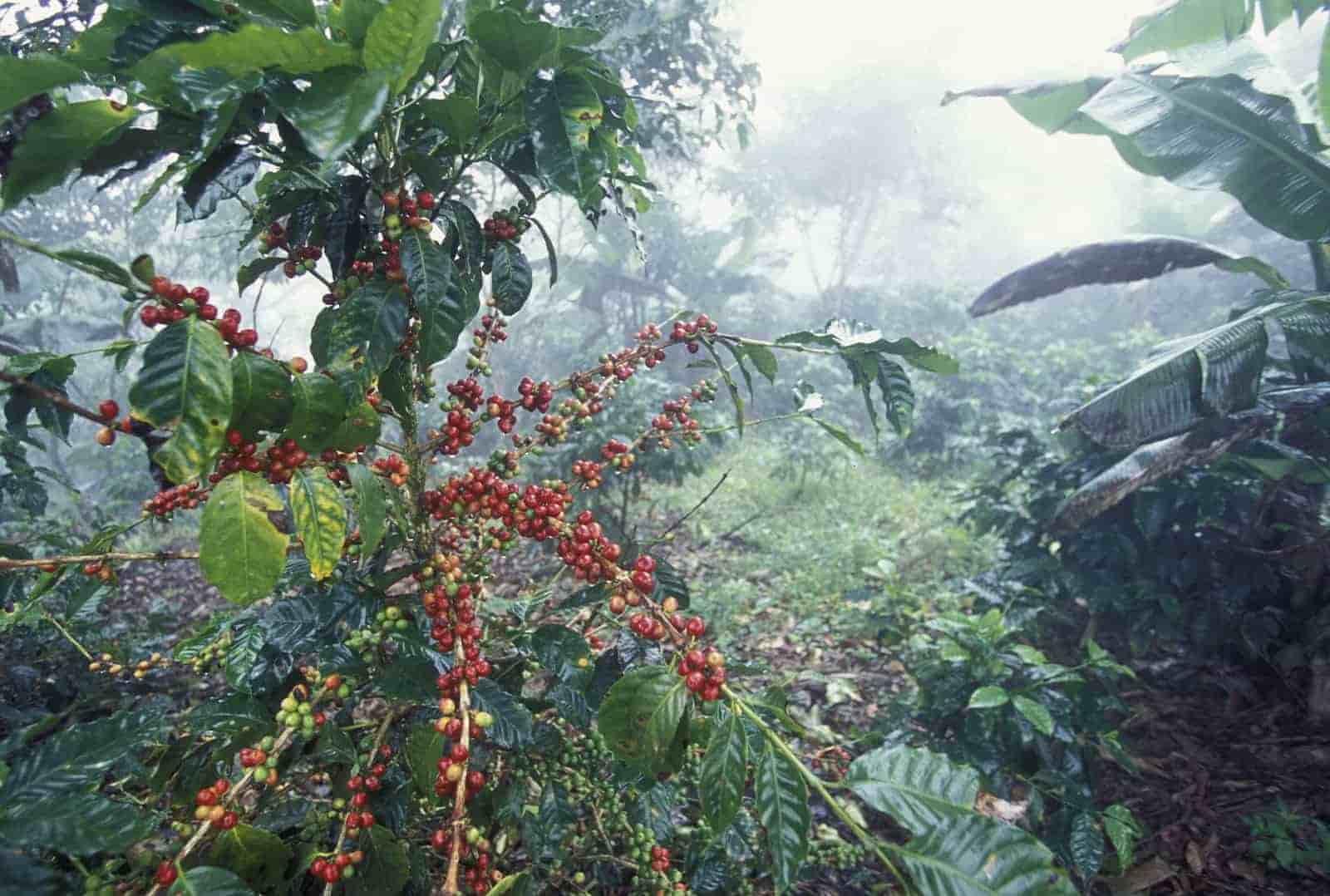 مزرعه قهوه عربیکا هندوراس