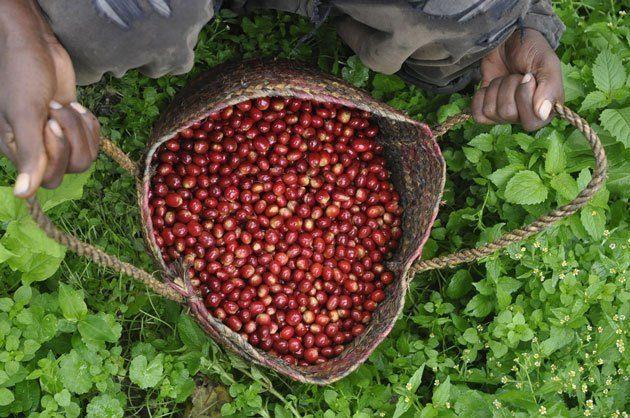 برداشت قهوه روبوستا برزیل