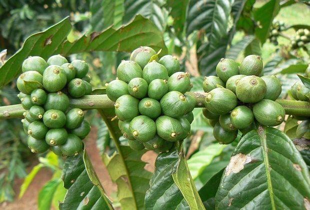 گیاه قهوه روبوستا اوگاندا