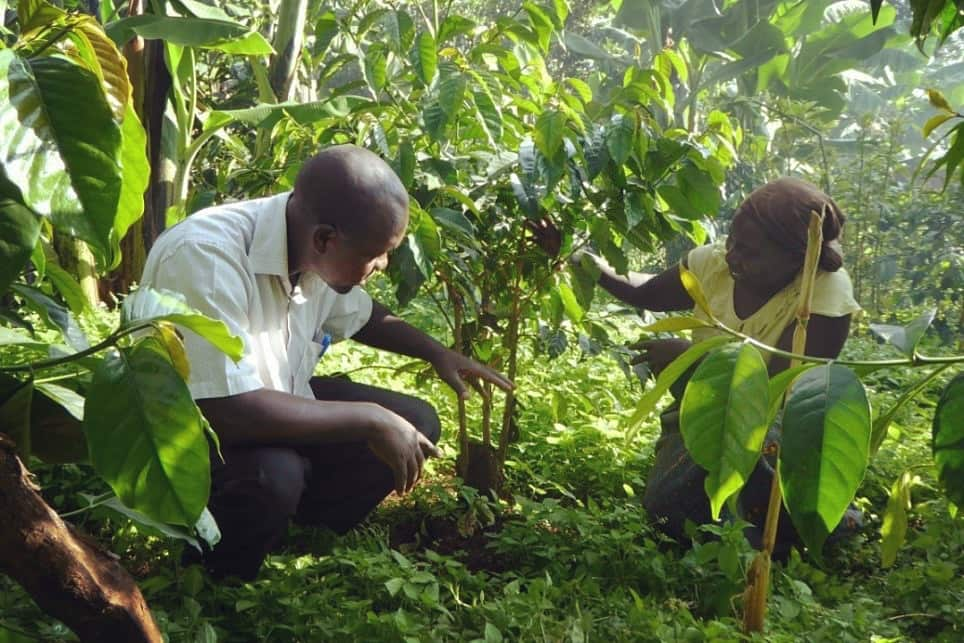کشاورزان قهوه روبوستا اوگاندا