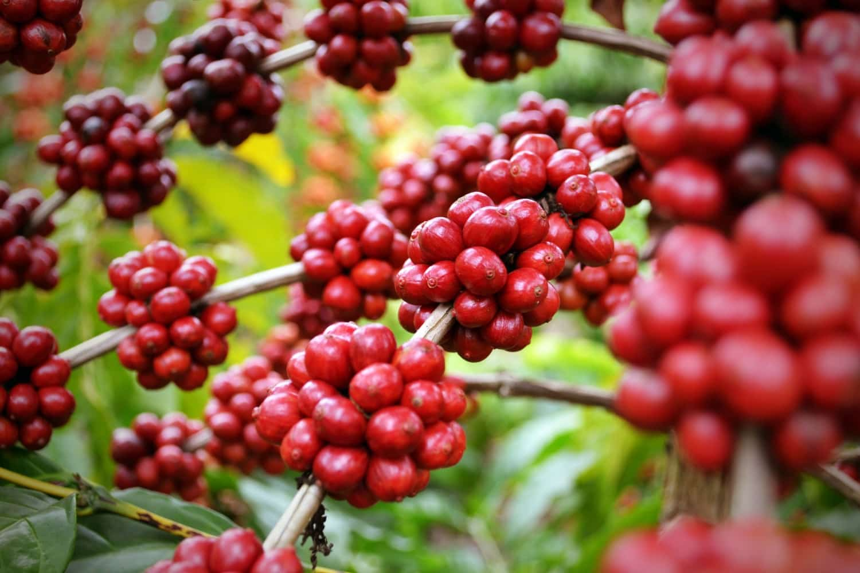 گیاه قهوه روبوستا برزیل