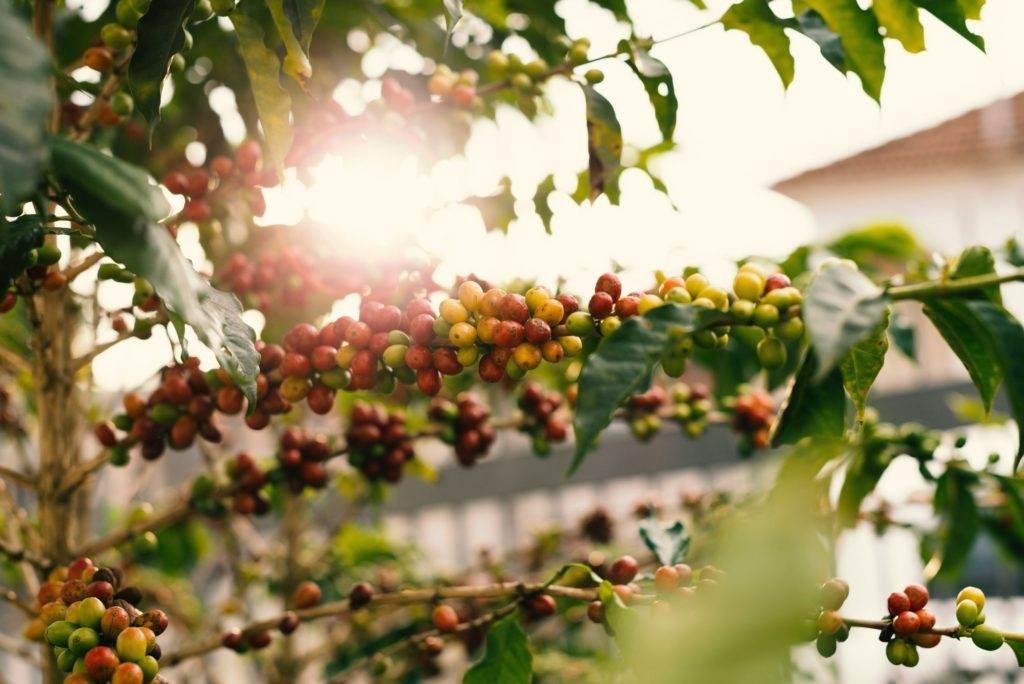 قهوه عربیکا آنتیگوا گواتمالا