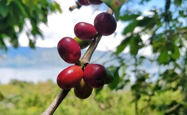 پرورش قهوه عربیکا سوماترا