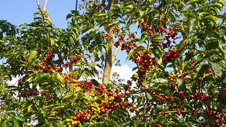 درخت قهوه عربیکا اتیوپی