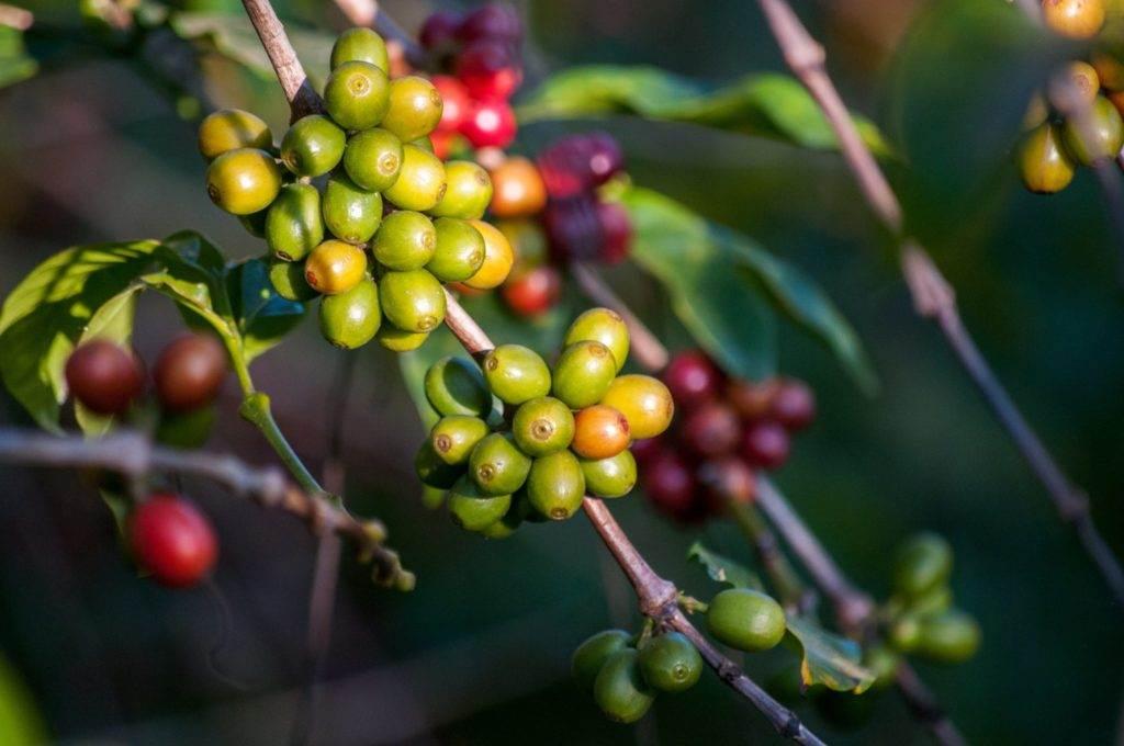 قهوه عربیکا FRAIJANES PLATEAU گواتمالا