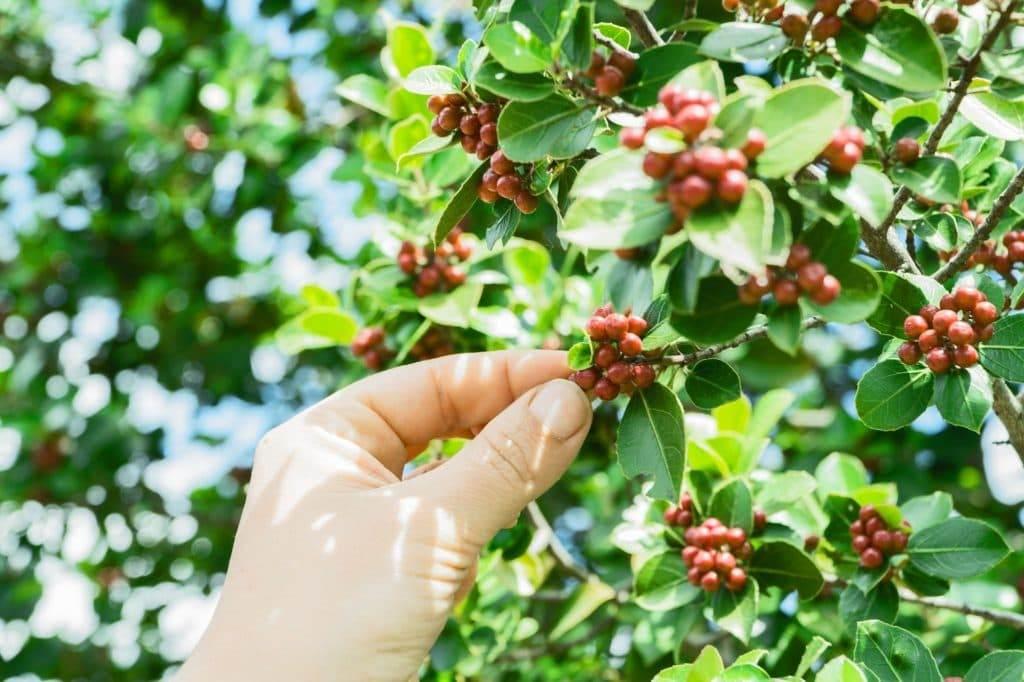 گیاه قهوه عربیکا گواتمالا