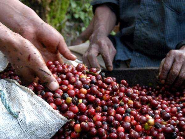 قهوه عربیکا Highland Huehuetenango گواتمالا