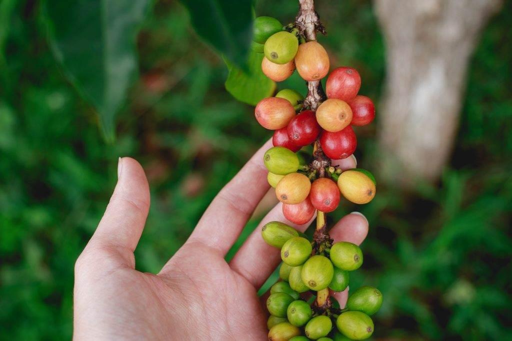 قهوه عربیکا NUEVO ORIENTE گواتمالا