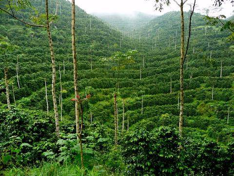 قهوه عربیکا Rainforest Coban گواتمالا