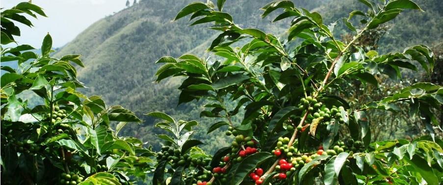 ارتفاع رشد قهوه عربیکا کنیا