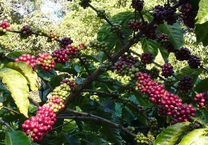 درخت قهوه روبوستا